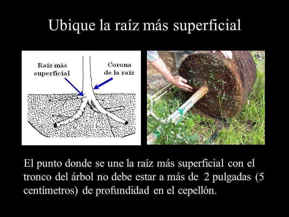 Ubique la raíz más superficial