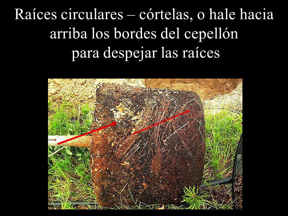 Raíces circulares – córtelas, o hale hacia arriba los bordes del cepellón para despejar las raíces