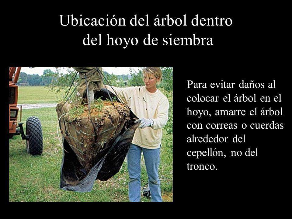 Ubicación del árbol dentro del hoyo de siembra