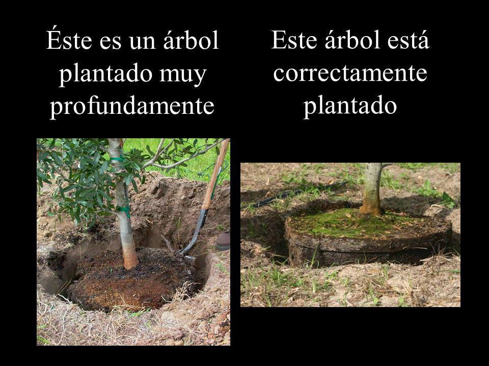Éste es un árbol plantado muy profundamente