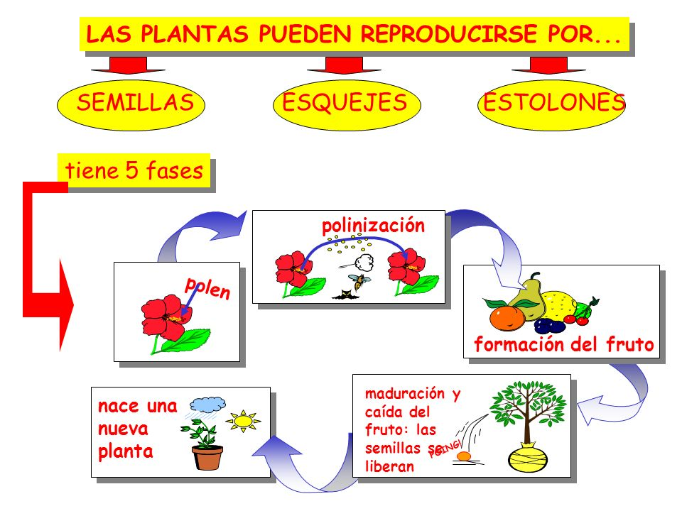LAS PLANTAS PUEDEN REPRODUCIRSE POR...