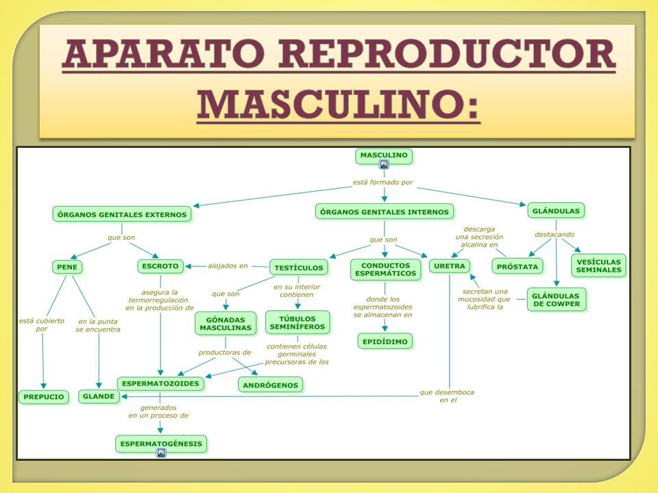 Mapa Conceptual Del Aparato Sexual Anatom 205 A Del