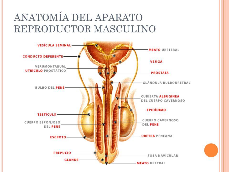 Perfecto La Anatomía Del Pene Masculino Foto - Anatomía de Las ...