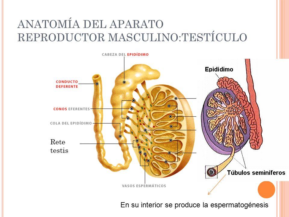 Excelente Túbulos Seminíferos Masculina Sistema De Anatomía Del ...