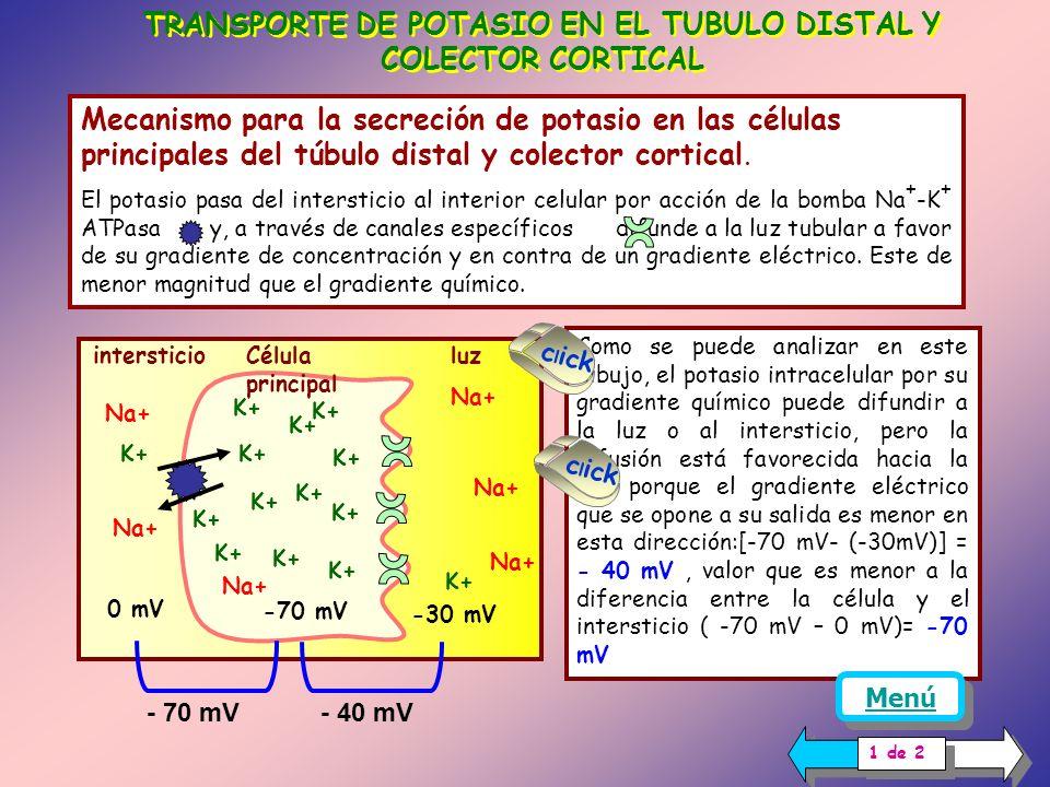 TRANSPORTE DE POTASIO EN EL TUBULO DISTAL Y COLECTOR CORTICAL
