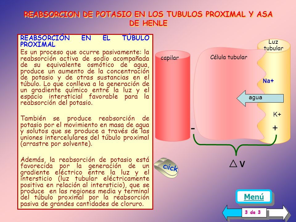 REABSORCION DE POTASIO EN LOS TUBULOS PROXIMAL Y ASA DE HENLE