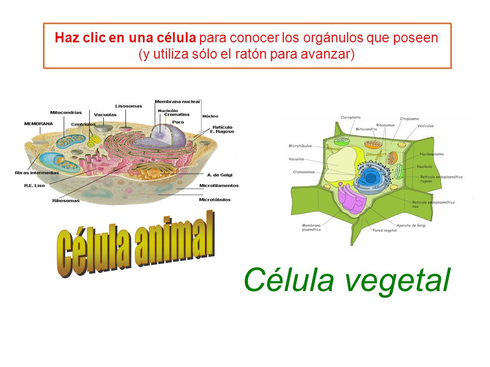 Célula vegetal Célula animal - ppt video online descargar