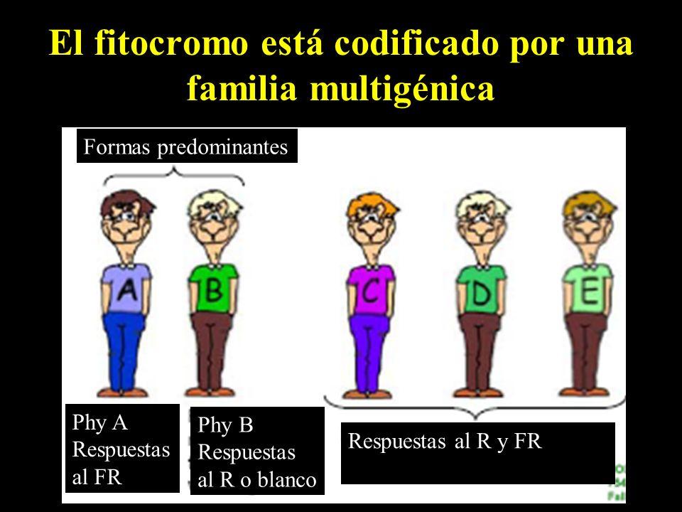 El fitocromo está codificado por una familia multigénica