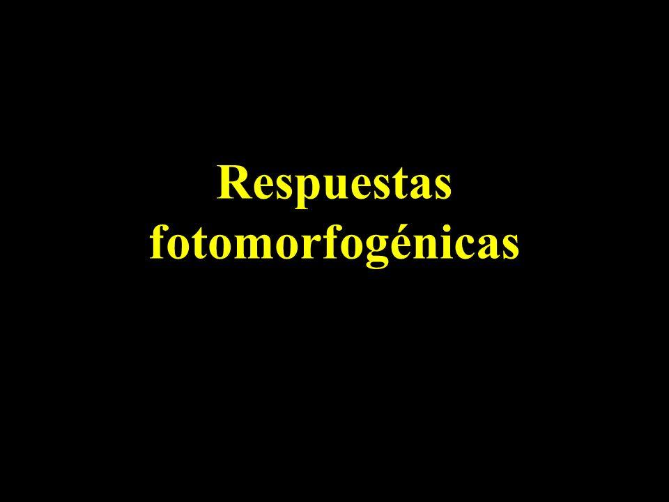 Respuestas fotomorfogénicas