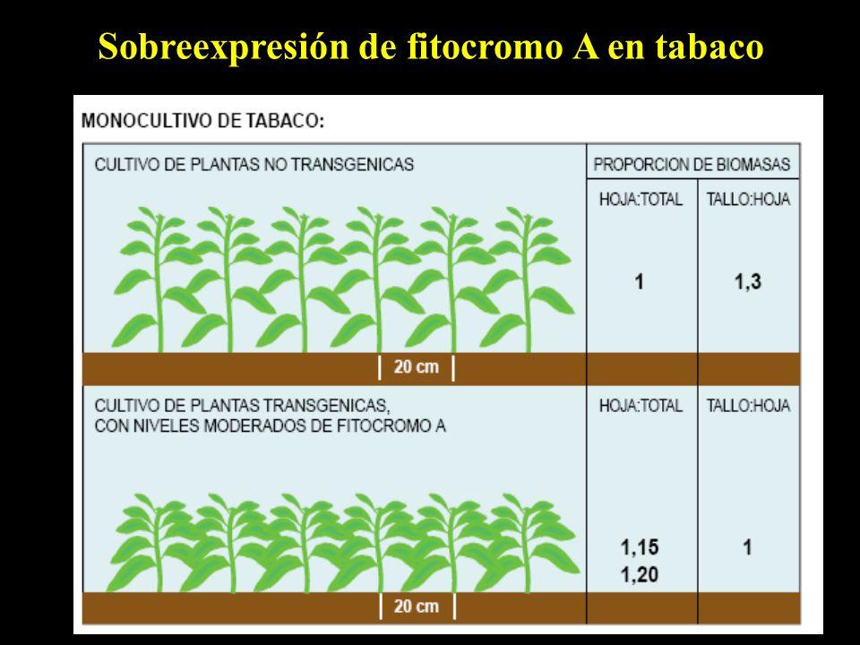 Sobreexpresión de fitocromo A en tabaco