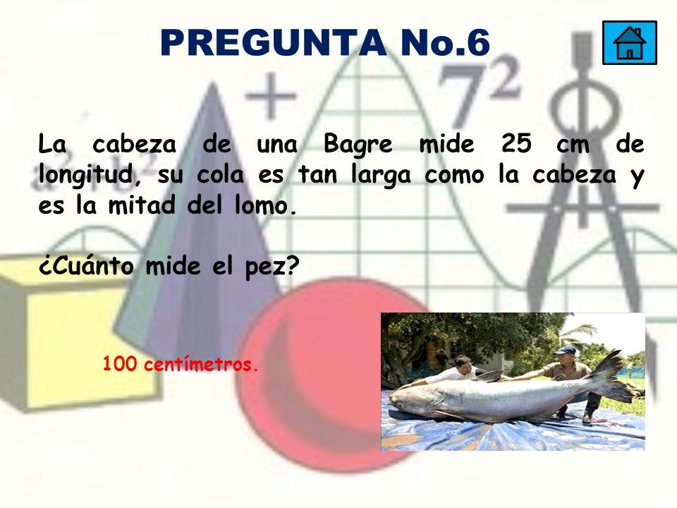PREGUNTA No.6 La cabeza de una Bagre mide 25 cm de longitud, su cola es tan larga como la cabeza y es la mitad del lomo.