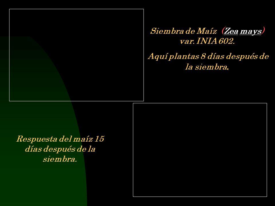 Siembra de Maíz (Zea mays) var. INIA 602.