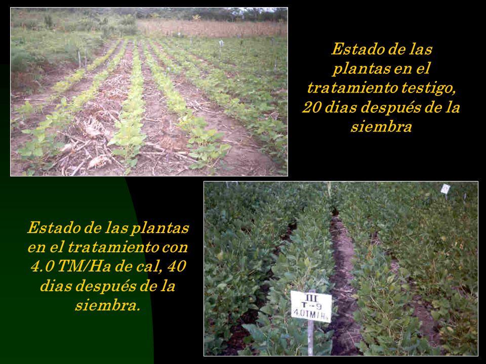 Estado de las plantas en el tratamiento testigo, 20 dias después de la siembra