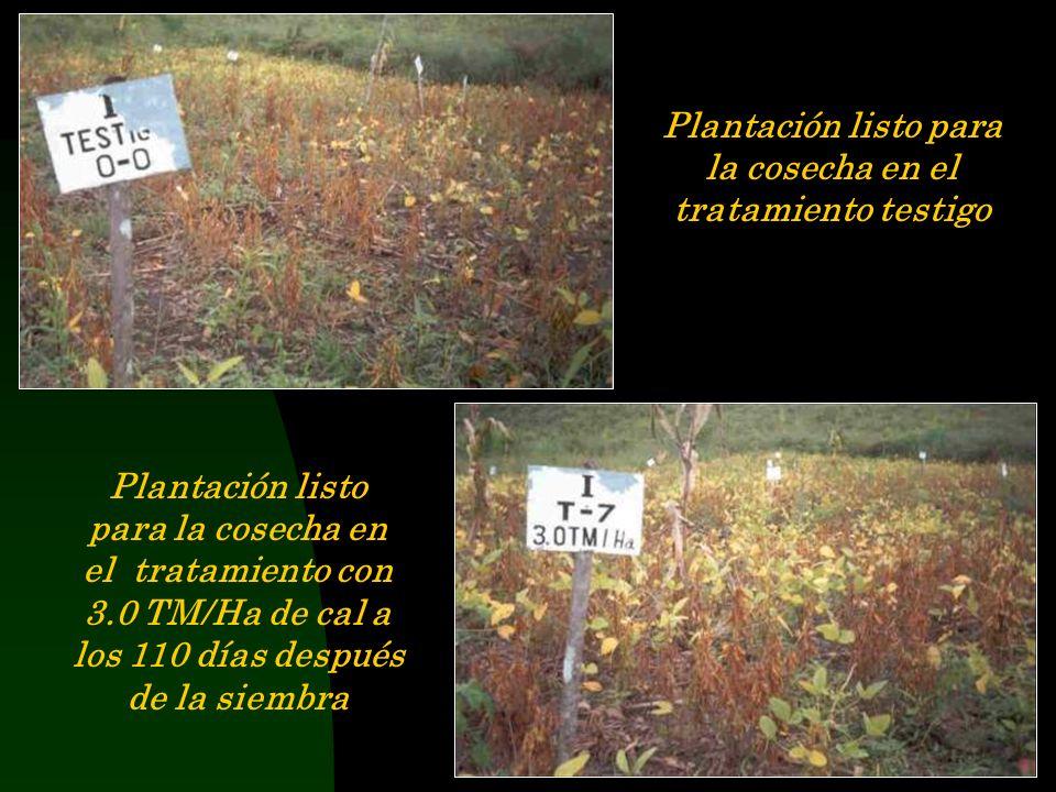 Plantación listo para la cosecha en el tratamiento testigo