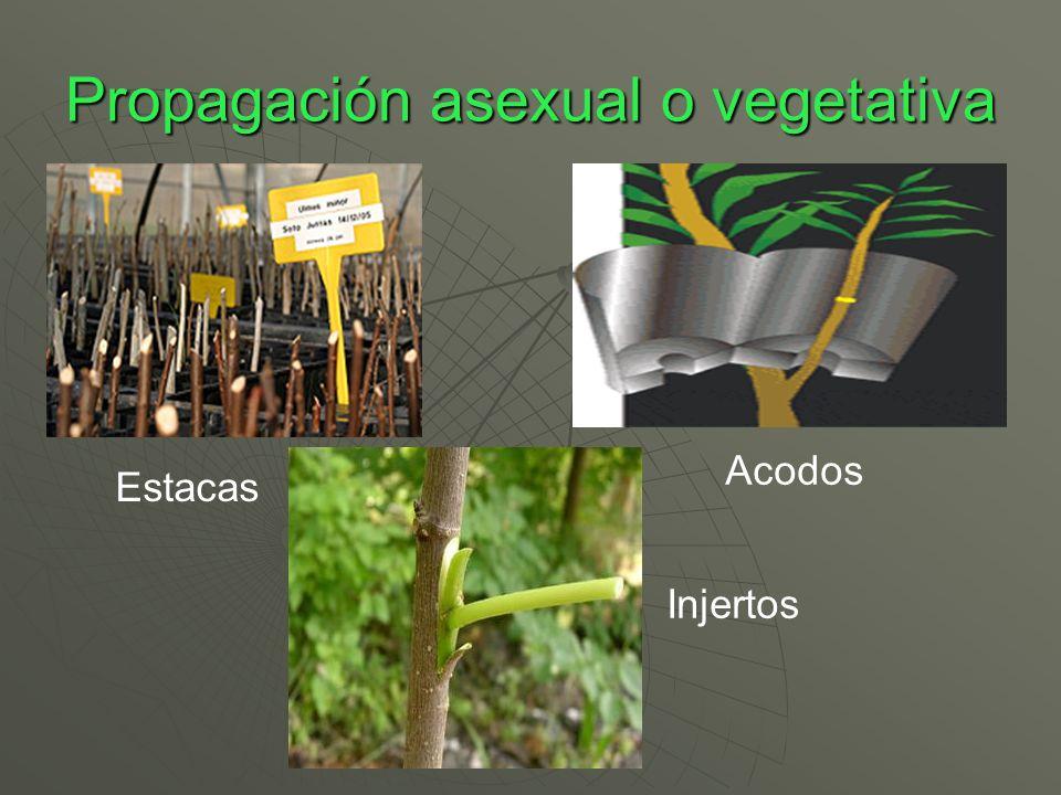 Propagación asexual o vegetativa