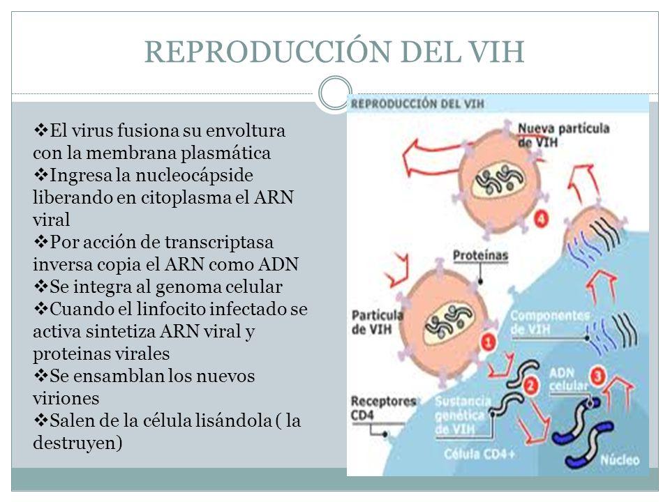 REPRODUCCIÓN DEL VIH El virus fusiona su envoltura con la membrana plasmática. Ingresa la nucleocápside liberando en citoplasma el ARN viral.
