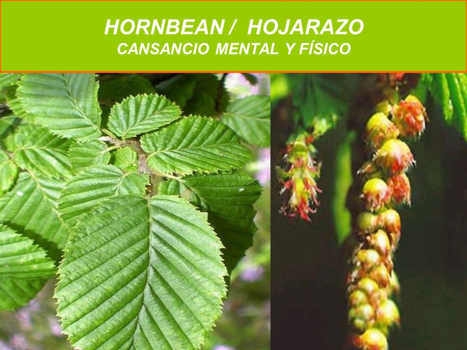 HORNBEAN / HOJARAZO CANSANCIO MENTAL Y FÍSICO