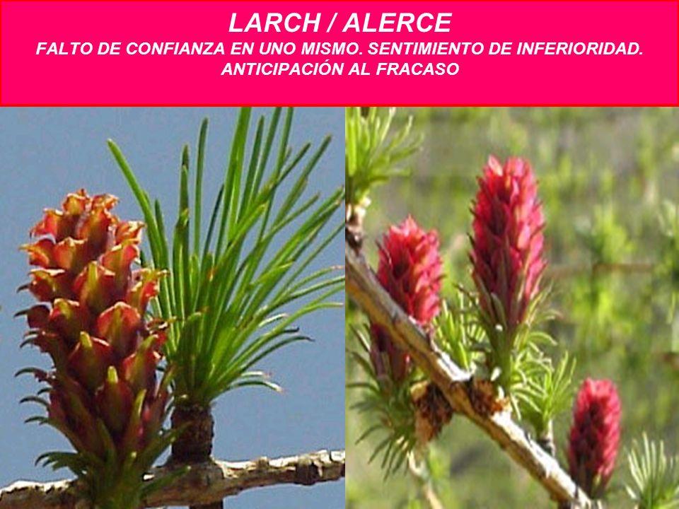 LARCH / ALERCE FALTO DE CONFIANZA EN UNO MISMO