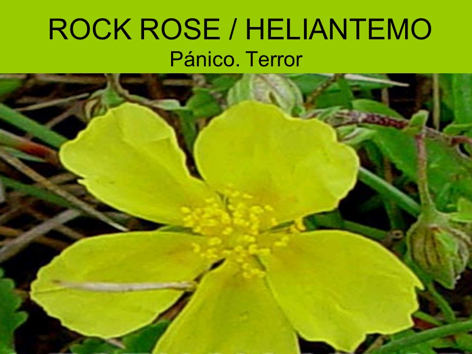 ROCK ROSE / HELIANTEMO Pánico. Terror