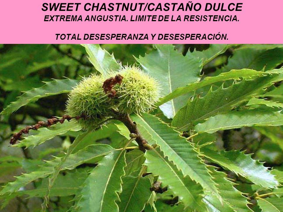 SWEET CHASTNUT/CASTAÑO DULCE EXTREMA ANGUSTIA. LIMITE DE LA RESISTENCIA.