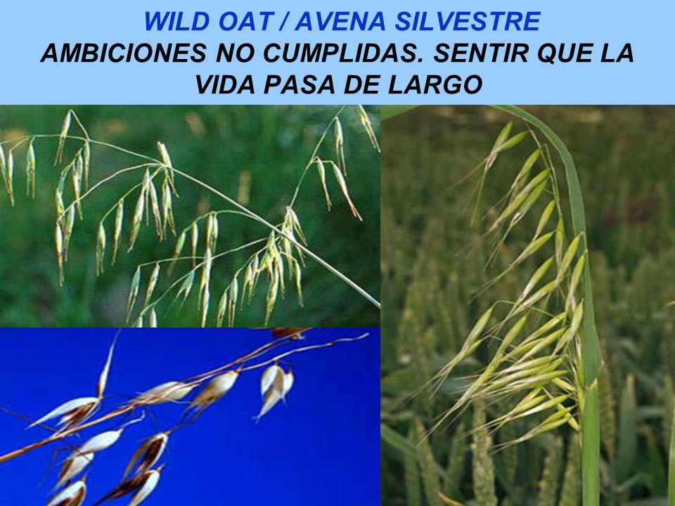 WILD OAT / AVENA SILVESTRE AMBICIONES NO CUMPLIDAS