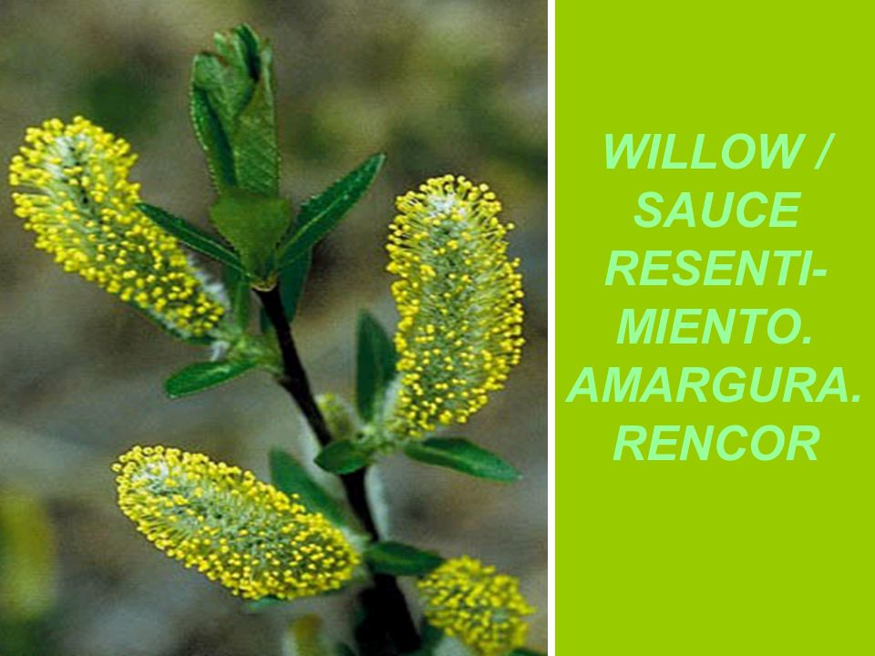 WILLOW / SAUCE RESENTI-MIENTO. AMARGURA. RENCOR