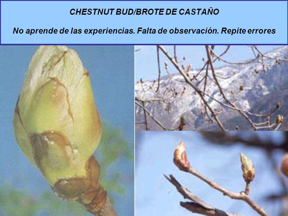 CHESTNUT BUD/BROTE DE CASTAÑO No aprende de las experiencias