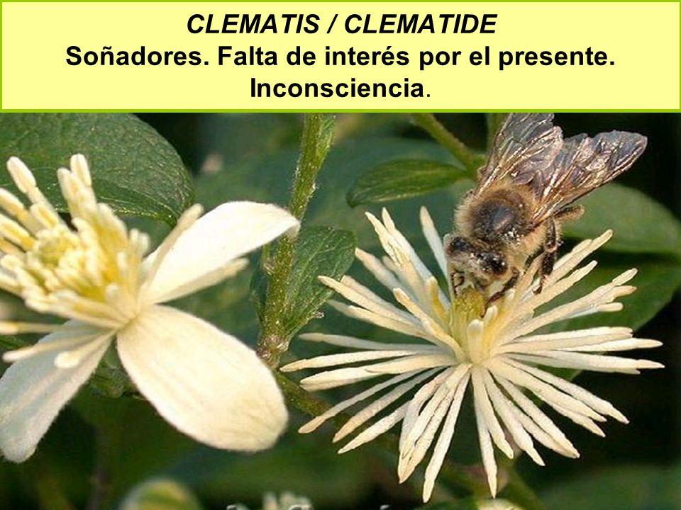 CLEMATIS / CLEMATIDE Soñadores. Falta de interés por el presente