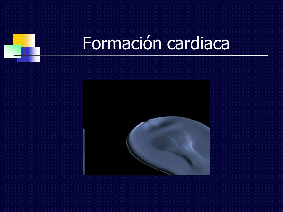Formación cardiaca
