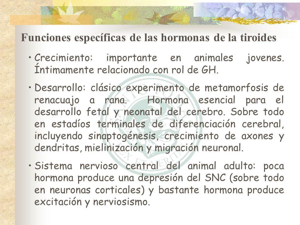 Funciones específicas de las hormonas de la tiroides