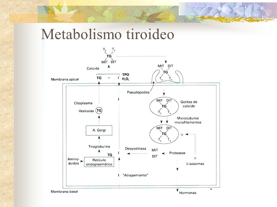 Metabolismo tiroideo