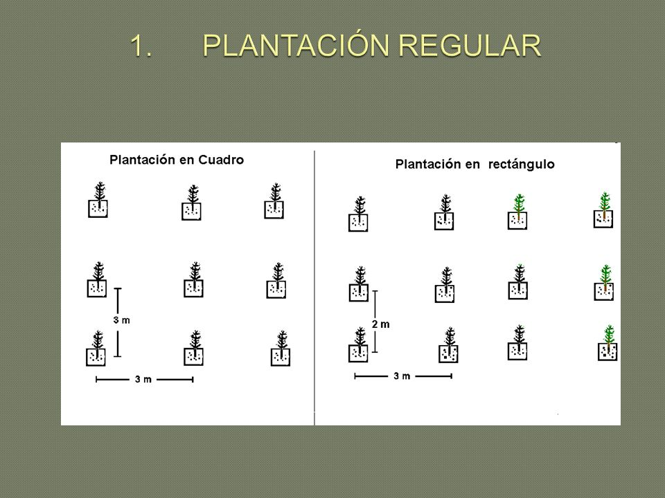 1. PLANTACIÓN REGULAR