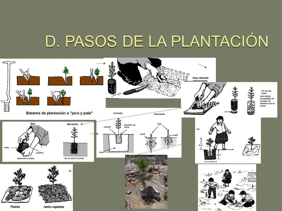 D. PASOS DE LA PLANTACIÓN