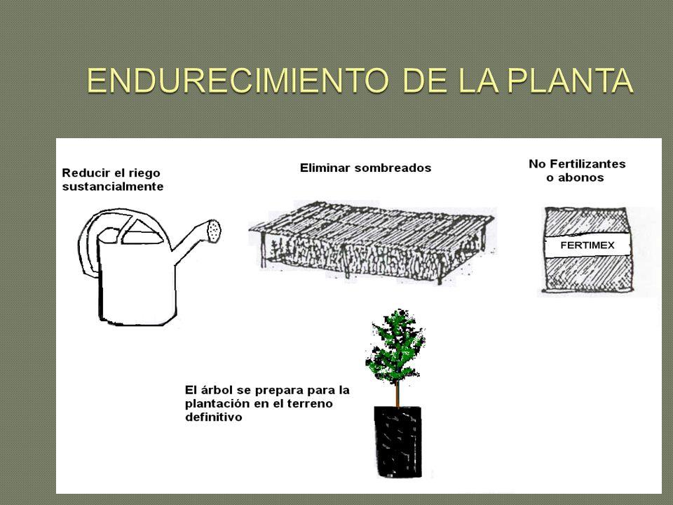 ENDURECIMIENTO DE LA PLANTA