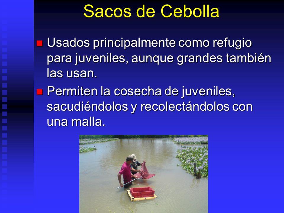Sacos de Cebolla Usados principalmente como refugio para juveniles, aunque grandes también las usan.