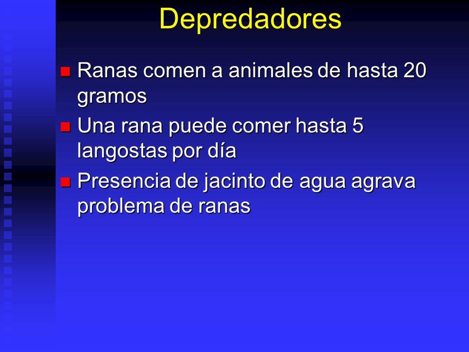 Depredadores Ranas comen a animales de hasta 20 gramos