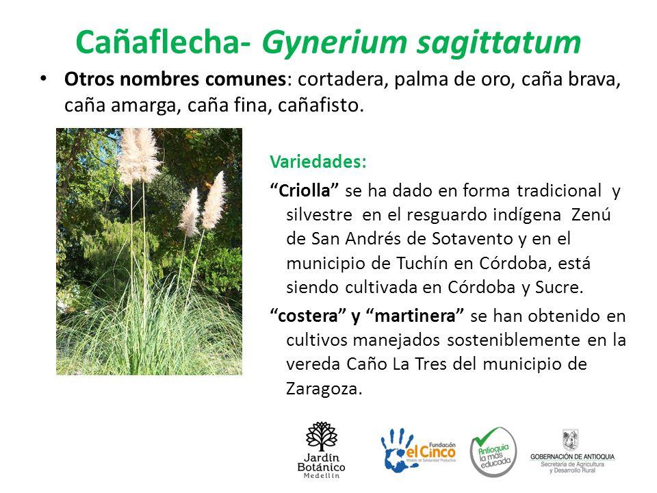 Cañaflecha- Gynerium sagittatum