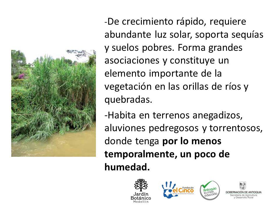 -De crecimiento rápido, requiere abundante luz solar, soporta sequías y suelos pobres. Forma grandes asociaciones y constituye un elemento importante de la vegetación en las orillas de ríos y quebradas.