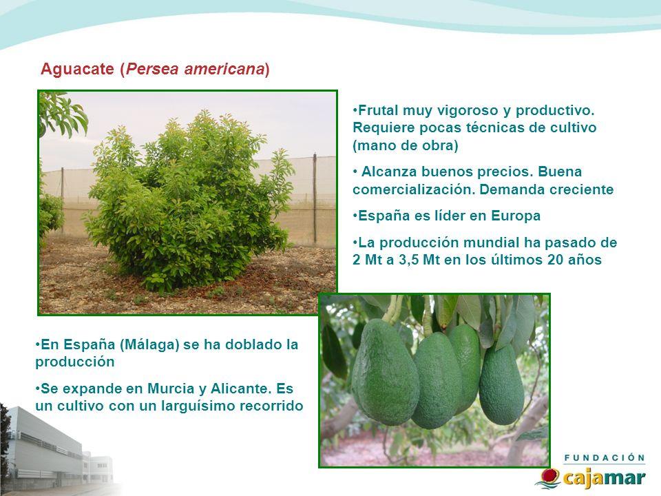 Aguacate (Persea americana)