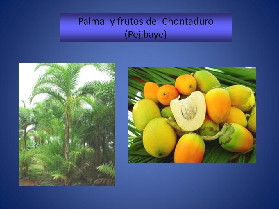 Palma y frutos de Chontaduro (Pejibaye)