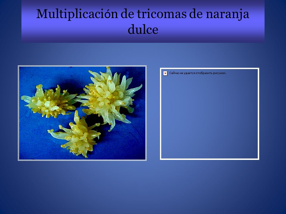 Multiplicación de tricomas de naranja dulce