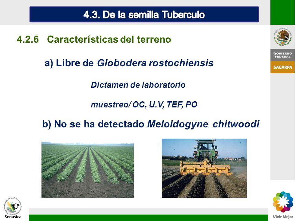 4.3. De la semilla Tuberculo