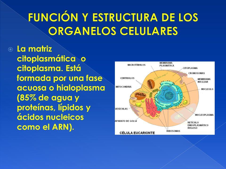 Función Y Estructura De Los Organelos Celulares