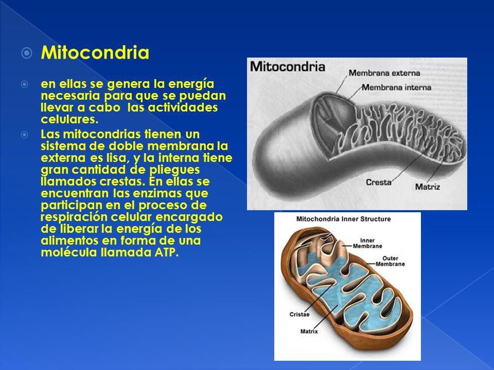 Mitocondria en ellas se genera la energía necesaria para que se puedan llevar a cabo las actividades celulares.