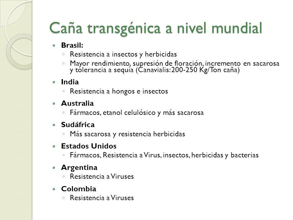 Caña transgénica a nivel mundial