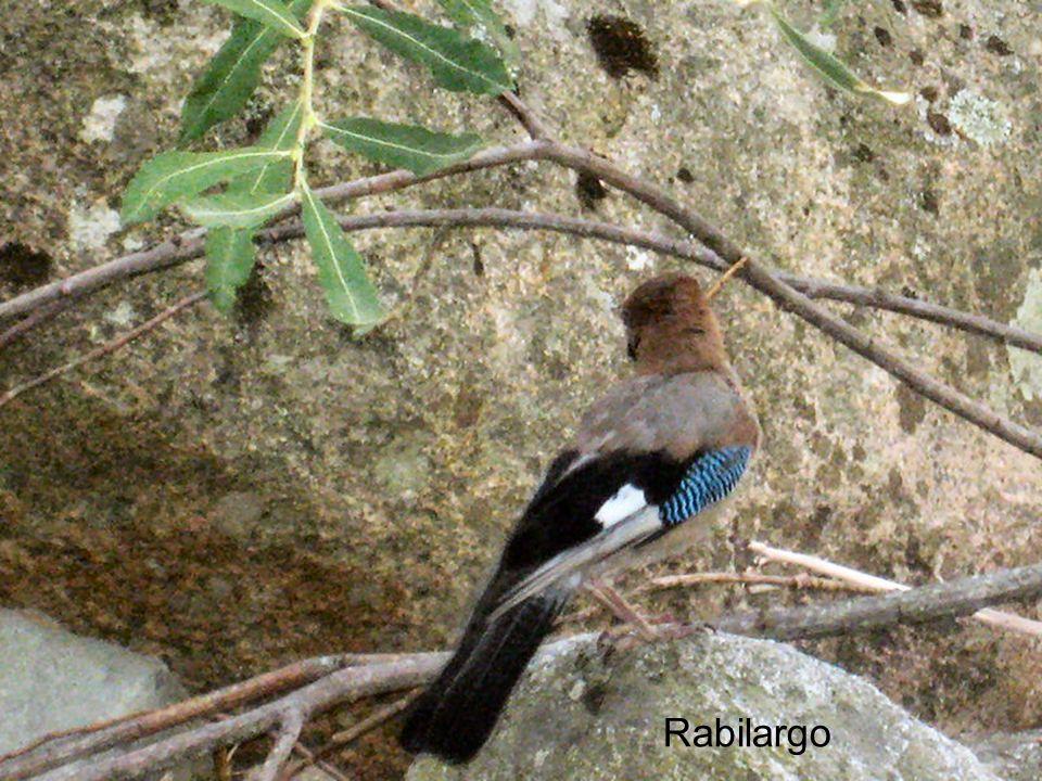 Rabilargo