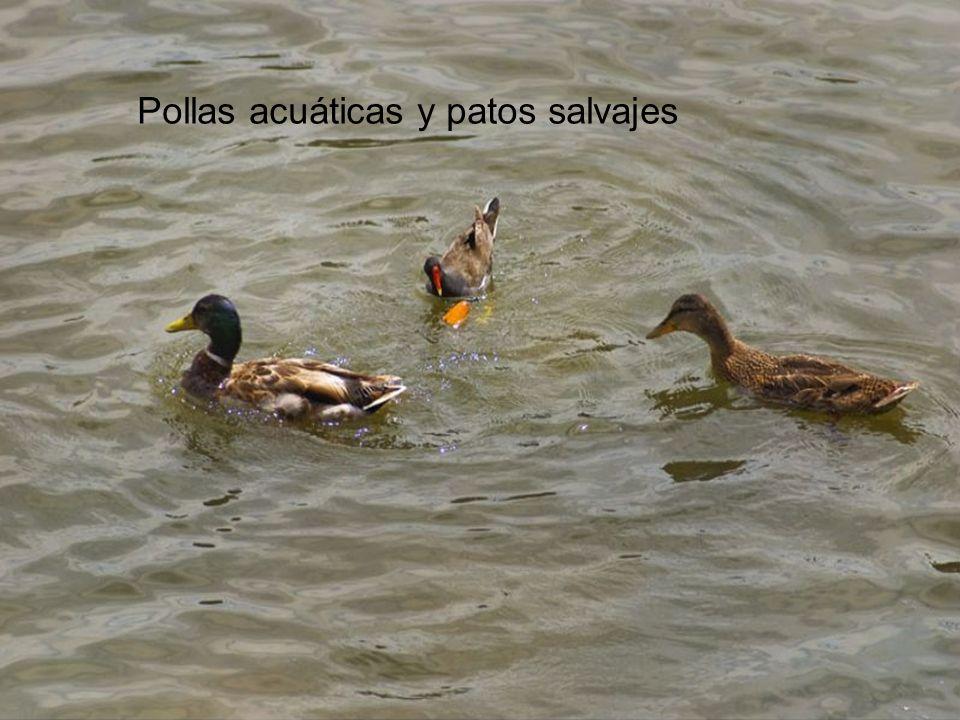 Pollas acuáticas y patos salvajes