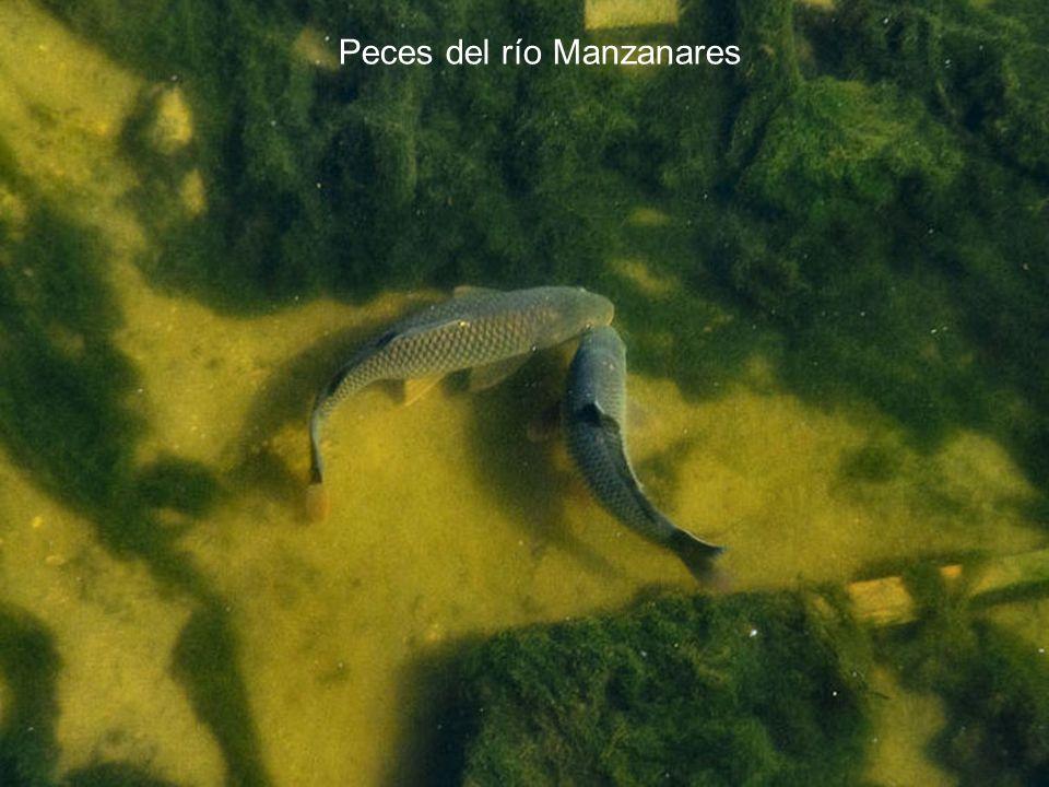 Peces del río Manzanares