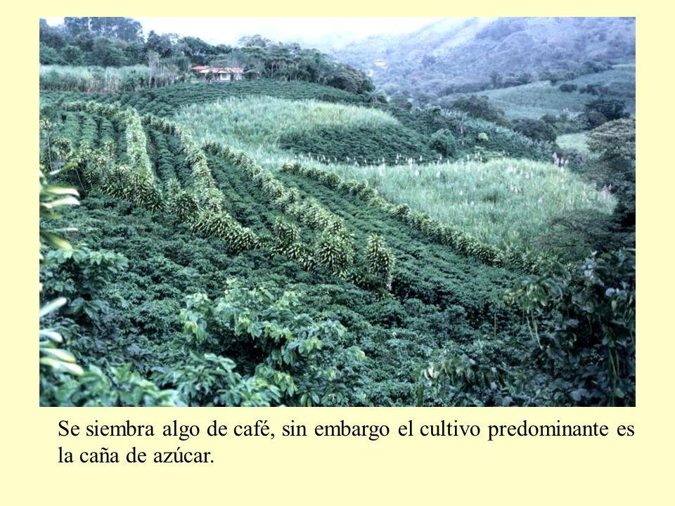 Se siembra algo de café, sin embargo el cultivo predominante es