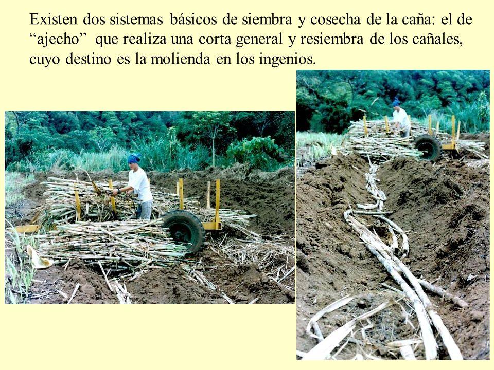 Existen dos sistemas básicos de siembra y cosecha de la caña: el de ajecho que realiza una corta general y resiembra de los cañales,